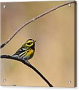 Townsends Warbler Acrylic Print