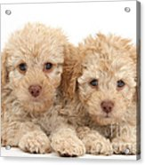 Toy Labradoodle Puppies Acrylic Print