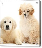 Toy Poodle And Golden Retriever Acrylic Print