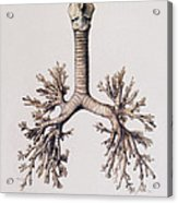 Trachea And Lung Bronchi Acrylic Print