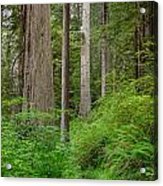 Trail Through Redwoods Acrylic Print