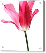Translucent Pink Tulip Flower  Acrylic Print