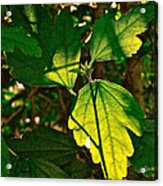 Transparent Glow IIi Acrylic Print by Rotaunja