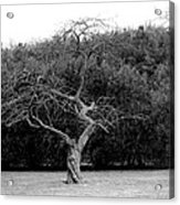 Tree Dancer Acrylic Print