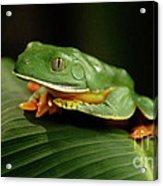 Tree Frog 1 Acrylic Print
