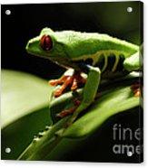 Tree Frog 13 Acrylic Print