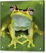 Tree Frog Hyla Rubracyla At Night Acrylic Print