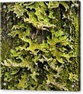 Tree Lungwort (lobaria Pulmonaria) Acrylic Print
