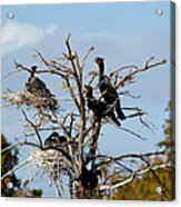 Tree Of Florida Cormorants Acrylic Print