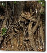 Tree Root's In The Creek Bed Acrylic Print