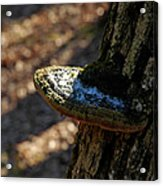 Tree Shelf Snow Sprinkled Fungus Acrylic Print