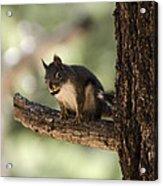 Tree Squirrel Acrylic Print