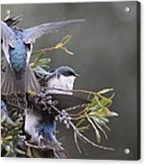 Tree Swallow - Standing Guard Acrylic Print