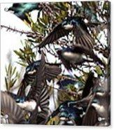 Tree Swallow - All Swallowed Up Acrylic Print