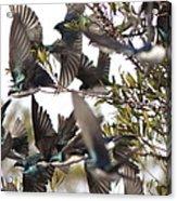 Tree Swallow Frenzy Acrylic Print