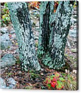 Tree Trio In Lichen At Hawn State Park Acrylic Print