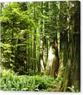 Trees At Cathedral Grove Acrylic Print