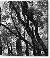 Trees Beautiful Trees Acrylic Print
