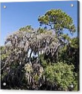Trees Decorated With Moss Acrylic Print