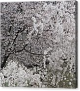 Trees Heavy With Cherry Blossoms Acrylic Print