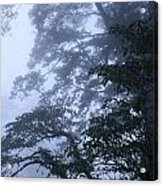 Trees In Fog 2  Acrylic Print