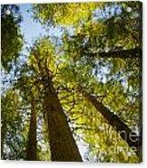 Trees Of Devoto Acrylic Print