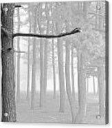 Trees On A Foggy  Morning Acrylic Print