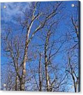 Trees With Cotton Cloud Acrylic Print