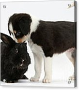 Tricolor Border Collie Pup With Black Acrylic Print