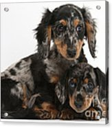 Tricolor Dachshund Puppies Acrylic Print