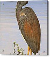 Tricolor Heron Acrylic Print