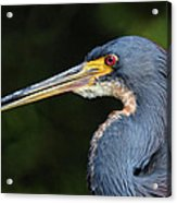 Tricolor Heron Portrait Acrylic Print