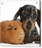 Tricolor Merle Dachshund Pup And Red Acrylic Print