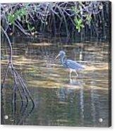 Tricolored Heron 1 Acrylic Print