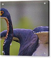 Tricolored Heron About To Fly Acrylic Print