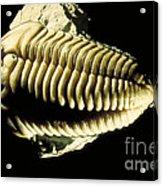 Trilobite Fossil Acrylic Print