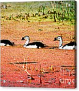 Trio Of Ducks Acrylic Print