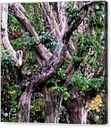 Triplet Trees Acrylic Print by Beverly Hammond