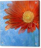 Triptych Gerbera Daisy-one Acrylic Print