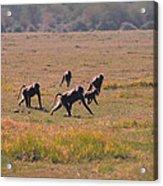 Troop Of Baboons  Acrylic Print