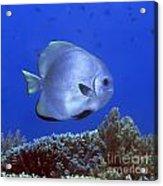 Tropical Fish Bat-fish Acrylic Print