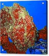 Tropical Fish Stone-fish Acrylic Print