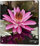 Tropical Night Flowering Water Lily  Rose De Noche IIi Acrylic Print
