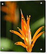 Tropical Orange Heliconia Flower Acrylic Print by Elena Elisseeva