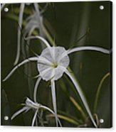 Tropical White Spider Lily Acrylic Print