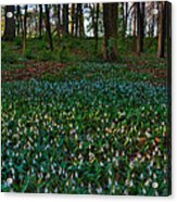 Trout Lilies On Forest Floor Acrylic Print by Steve Gadomski