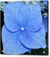 True Blue. Acrylic Print