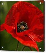 Truly Red Oriental Poppy Wildflower Acrylic Print