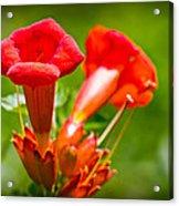 Trumpet Blossoms Acrylic Print