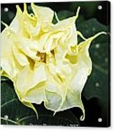 Trumpet Flower Accented Fx  Acrylic Print